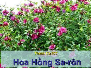 Thánh Ca  577  Hoa Hồng Sa-rôn