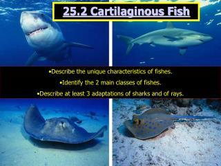 25.2 Cartilaginous Fish
