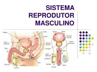 SISTEMA REPRODUTOR MASCULINO