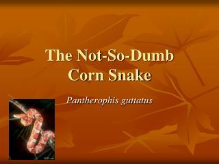 The Not-So-Dumb  Corn Snake