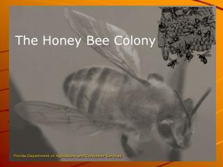 The Honey Bee Colony