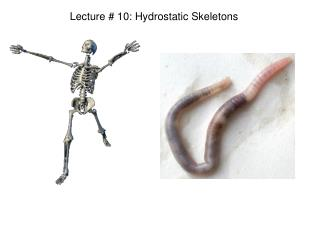 Lecture # 10: Hydrostatic Skeletons