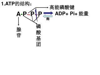 1.ATP 的结构: A - P ~ P ~ P