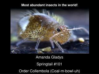 Amanda Gladys Springtail #101 Order Collembola (Coal-m-bowl-uh)