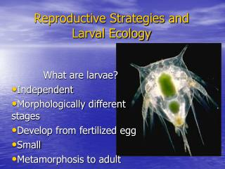 Reproductive Strategies and Larval Ecology
