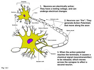 Neurons are electrically active; They have a resting voltage, and can undergo electrical changes