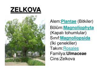 Alem: Plantae  (Bitkiler)