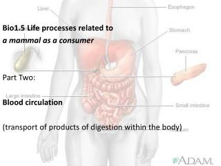 Bio1.5 Life processes related to  a mammal as a consumer Part Two: Blood circulation