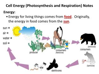 Cell Energy Photosynthesis and Respiration Notes Energy: Energy for living things comes from food.  Originally, the ener