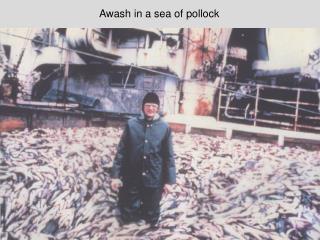 Awash in a sea of pollock