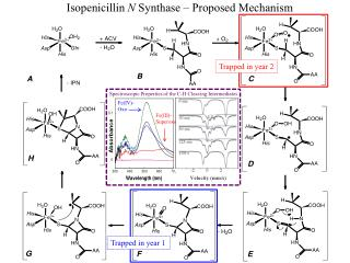 Isopenicillin  N  Synthase � Proposed Mechanism
