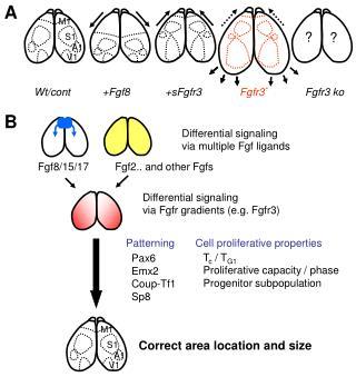 Differential signaling  via Fgfr gradients (e.g. Fgfr3)