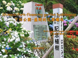 Shimoda Park-flowering garden hydrangeas 下田公園 - 盛開的花園繡球