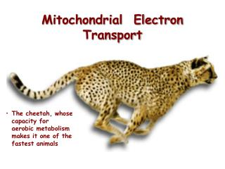 Mitochondrial  Electron Transport