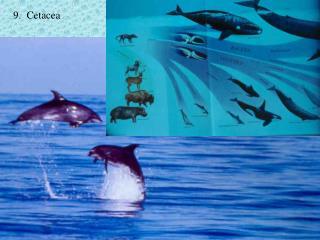 9.  Cetacea