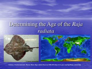 Determining the Age of the  Raja radiata