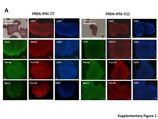 FRDA-iPSC-C7