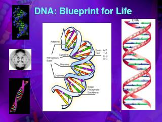 DNA: Blueprint for Life