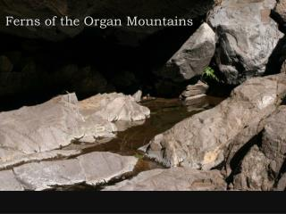 Ferns of the Organ Mountains