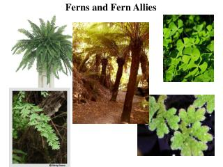 Ferns and Fern Allies