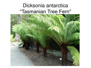 "Dicksonia antarctica ""Tasmanian Tree Fern"""