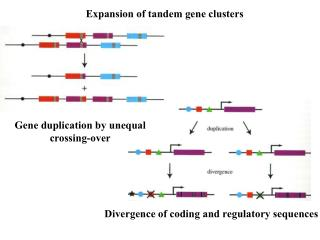 Expansion of tandem gene clusters