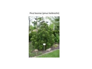 Pinul bosniac (pinus heldreichii)