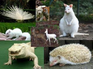 Albinismul la animale