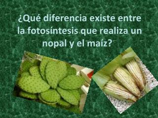 ¿Qué diferencia existe entre la fotosíntesis que realiza un nopal y el maíz?