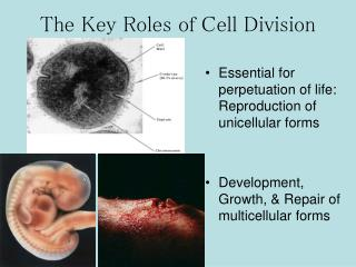 The Key Roles of Cell Division