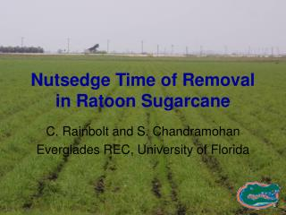 Nutsedge Time of Removal in Ratoon Sugarcane