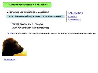 HOMÍNIDOS POSTERIORES A A. AFARENSIS