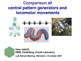 Comparison  of  central pattern generators and  locomotor movements
