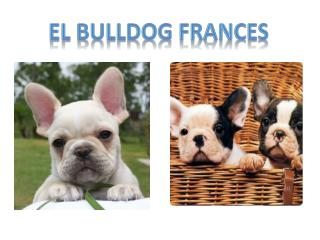 El bulldog  frances