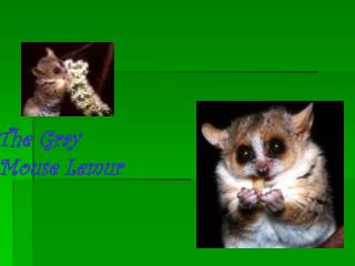 The Gray  Mouse Lemur