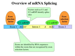 Exon  selection  factor