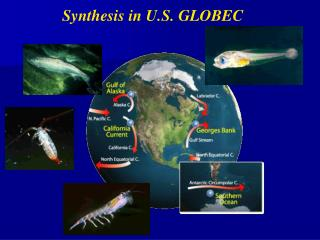 Synthesis in U.S. GLOBEC