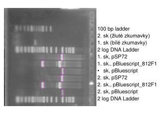 100 bp ladder 2. sk (žluté zkumavky) 1. sk (bílé zkumavky) 2 log DNA Ladder 1. sk, pSP72