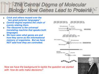 The Central Dogma of Molecular Biology: How Genes Lead to Proteins