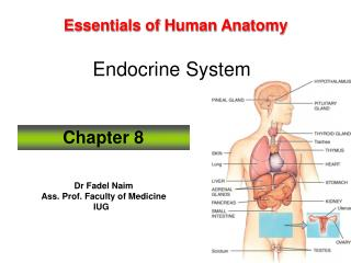 Essentials of Human Anatomy Endocrine System