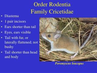Order Rodentia Family Cricetidae