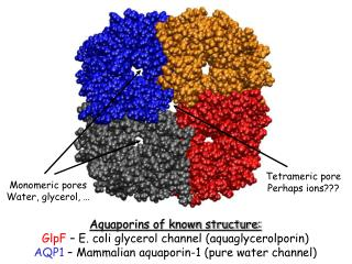 Monomeric pores Water, glycerol, …