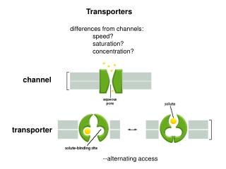 Transporters differences from channels: 	speed? 	saturation? 	concentration?