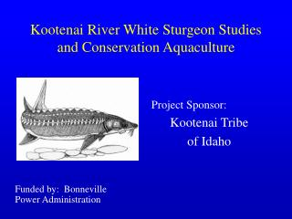 Kootenai River White Sturgeon Studies and Conservation Aquaculture