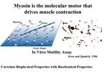 Myosin is the molecular motor that drives muscle contraction