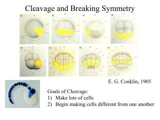 Cleavage and Breaking Symmetry