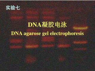 DNA 凝胶电泳 DNA agarose gel electrophoresis