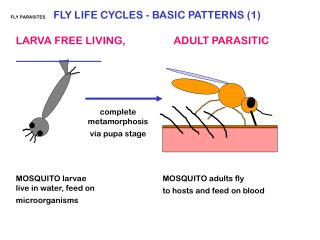 FLY PARASITES FLY LIFE CYCLES - BASIC PATTERNS (1)