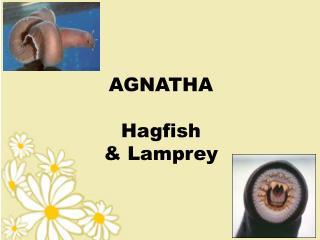 AGNATHA Hagfish  & Lamprey