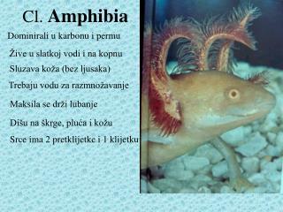 Cl.  Amphibia